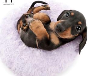 animals, aww, and dachshund image