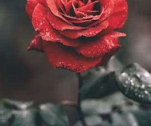 red and rosas image