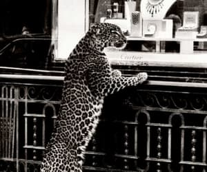 leopard, animal, and cartier image