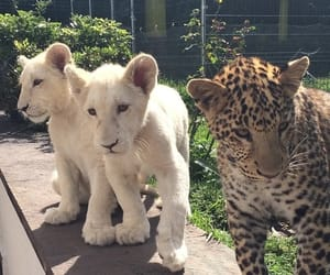 animal, lion, and leopard image