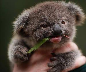 Koala, animal, and baby image