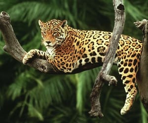 animal, jaguar, and nature image