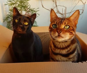 beauty, black cat, and cats image