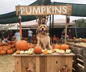 dog, pumpkin, and puppy image