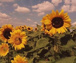 sunflower, flowers, and vintage image