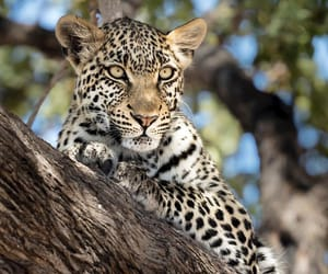 leopard, wild nature, and wild cat image