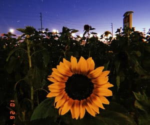 flower, sunflower, and pumpkin patch image