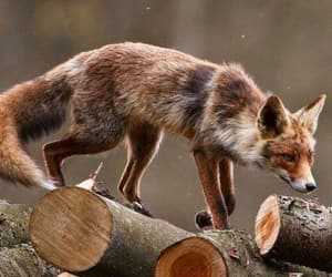 animal, forest, and fox image