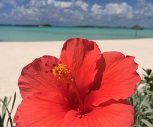 hibiscus, beach, and flowers image