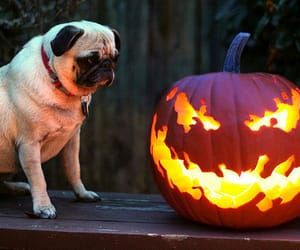 Halloween, dog, and pug image