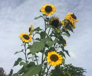 clouds, day, and sunflower image