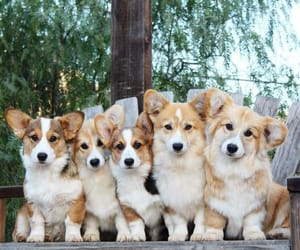 corgi, puppy, and welsh corgi image