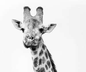 animal, black, and giraffe image