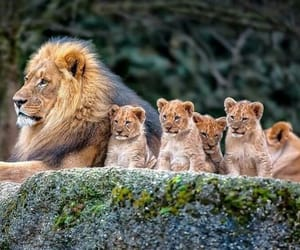 lion, animal, and family image