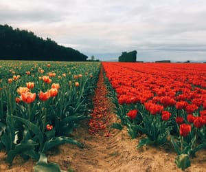 flowers, orange, and red image