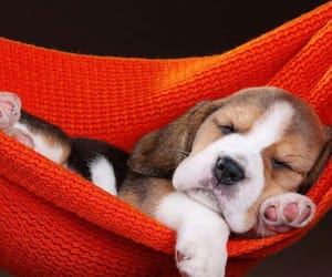beagle, puppy, and chill image