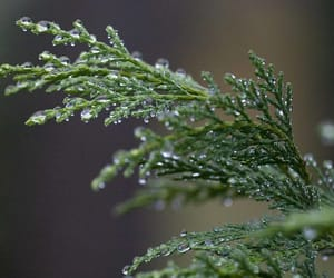 cypress, drops, and plant image