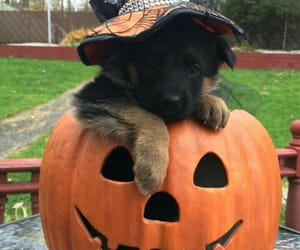Halloween, pumpkin, and dog image