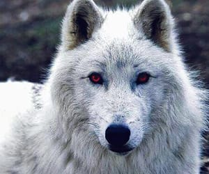 game of thrones, ghost, and wolf image