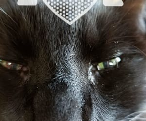 black cats and black beauty image
