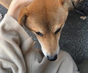 dog, shiba, and japanese image