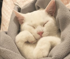 animal, blanket, and cat image