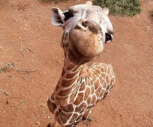 animal, giraffe, and nature image