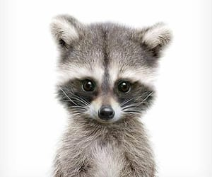 animal, adorable, and raccoon image