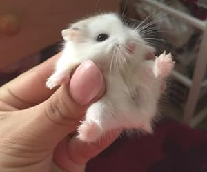 animal, cute, and hamster image