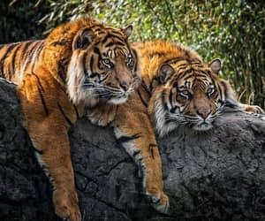 tiger, tigers, and sumatran tigers image
