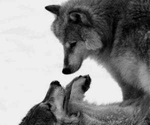 couples, wild animals, and wolves image