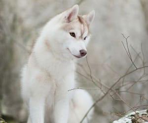 husky, dog, and animals image