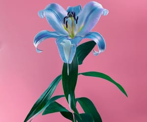 blue, flower, and pink image