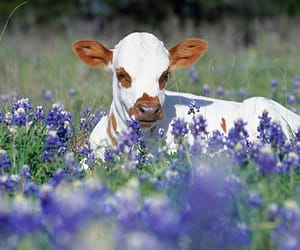 animal, cows, and flowers image