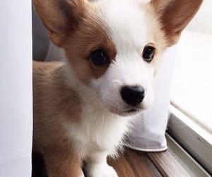 animal, puppy, and corgi image