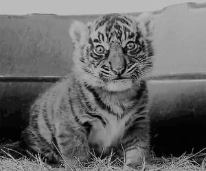 tiger, animals, and baby tiger image