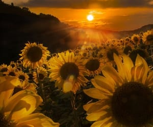 sunflower, flowers, and sun image