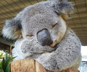 animal, Koala, and sleep image