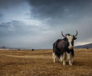 yak in altai and by stefan cruysberghs image