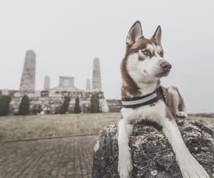 husky, photography, and doggo image