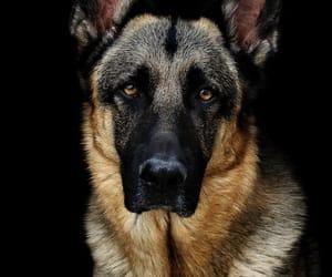 german shepherd, regal, and protector image