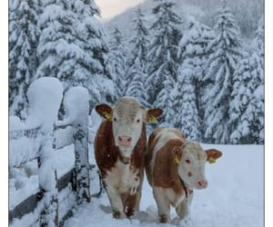 cattle, cold, and country image