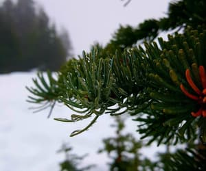 cold, pines, and evergreen image