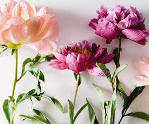 aesthetic, bloom, and pink rose image