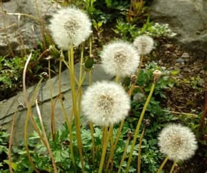 dandelions, nature, and weeds image