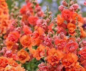 flowers, orange, and hollyhocks image