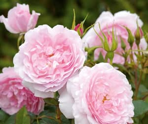 beautiful, roses, and garden image