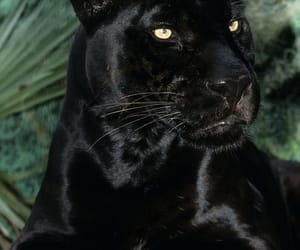 animals, black panther, and wild cat image