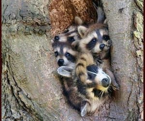 raccoons and animals image