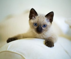 blue eyes, cat, and chat image